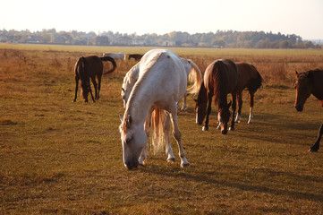 Herd of horses on the nature in the setting sun. Animals on field background
