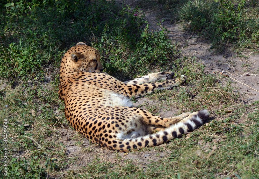 photo art print laying cheetah cheetah sleeping in the dirt