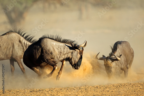 Two blue wildebeest Connochaetes taurinus) fighting, Kalahari desert, South Africa.
