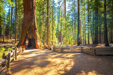 Tunnel Tree, Mariposa Grove, Y...