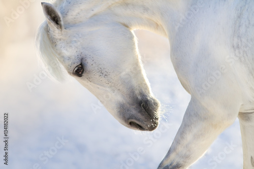 Obraz White horse with long mane portrait in motion in winter day  - fototapety do salonu