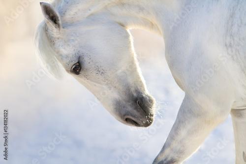 Obraz Biały koń - fototapety do salonu