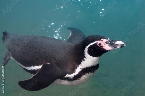 фотография  Penguin, swimming