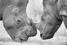 Close-up Of A White Rhino Head...