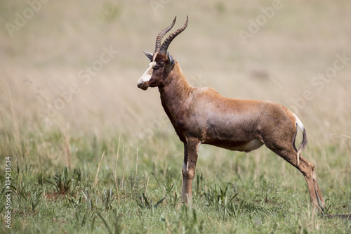 Poster Antilope Blesbok male standing on open grass plain