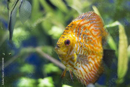Beautiful Diskus Fish Golden Snake Skin In Aquarium Buy This