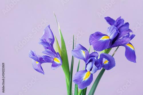 Spoed Foto op Canvas Iris Greeting card with spring iris flowers.