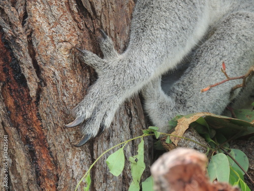 Griffes de koala (Phascolarctos cinereus)