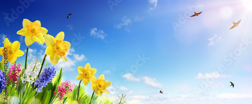 Foto op Aluminium Bloemen Spring And Easter Banner - Daffodils In The Fresh Lawn With Fly of Swallow
