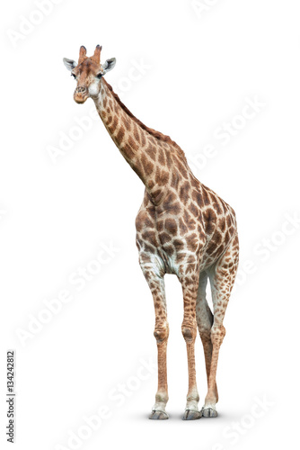 Tuinposter Giraffe giraffe on white background