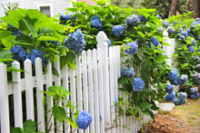 Blue Hydrangea Along  White Fence. In The Distance Cottage