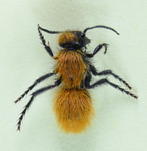 Velvet Ant Female