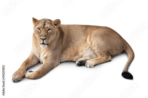 Fotografie, Obraz  one beautiful lioness lying.