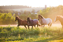 Four Horses Running In A Field, British Columbia, Canada