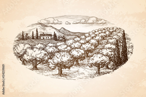 Cuadros en Lienzo Hand drawn olive grove landscape.
