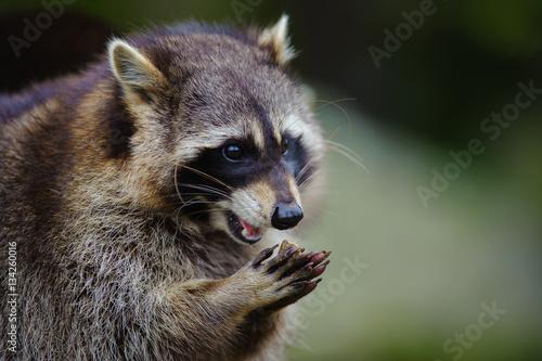 Carta da parati Raccoon