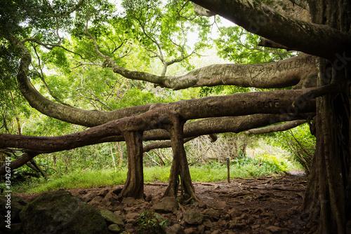 Photo Amazing banyan tree in Haleakala National Park
