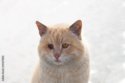 Fotografie, Obraz  Portrait of an orange diluted ginger tabby stray, one eye missing, necrotic tiss