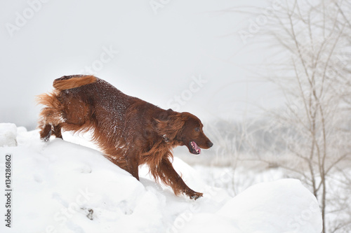 Fotografie, Obraz  Dog breed Irish Red setter