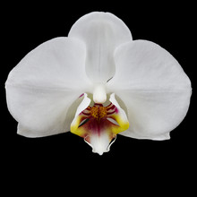 Single Orchid Flower Isolated On Black Background