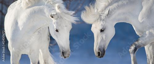 dwa-biale-konie-na-blekitnym-tle