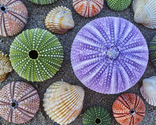 Violet And Other Colorful Sea Urchins And Shells On Wet Sand Beach