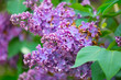 branch of blooming lilacs on the background of green leaves close-up