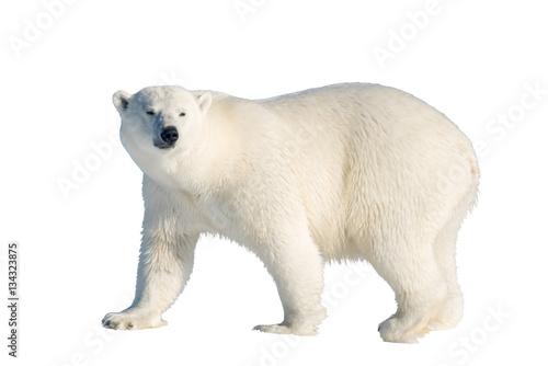 Recess Fitting Polar bear Polar bear isolated
