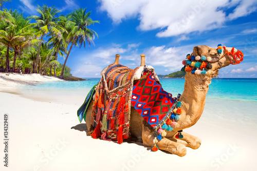 Keuken foto achterwand Kameel Camel ride on the tropical beach