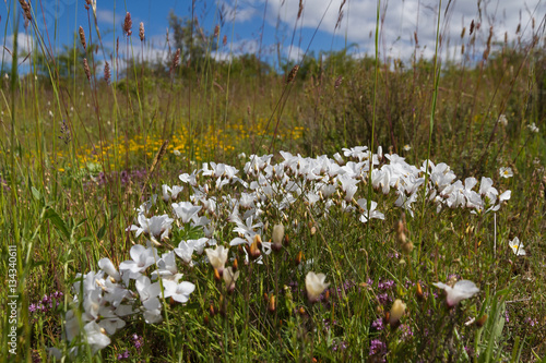 Flores Silvestres Blancas De Lino Blanco Linum Suffruticosum