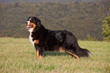 Portrait Of Nice Bernese Mountain Dog
