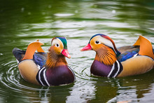 Mandarin Duck Swimming In A Pond