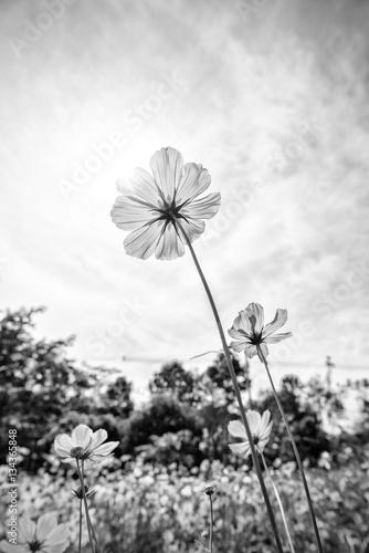 Foto-Lamellenvorhang - Black and white fine art of the cosmos flower (von yotrakbutda)