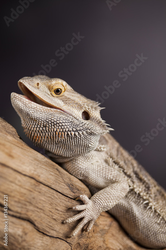 Pet, lizard Bearded Dragon on black background