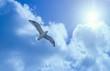 Leinwandbild Motiv Mittelmeermöwe (Larus michahellis) fliegt im Gegenlicht am Himmel über Bonifacio / Bunifaziu, Corse-du-Sud, Korsika, Frankreich, Europa