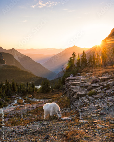 Valokuva  Mountain goat and setting sun in Glacier National Park