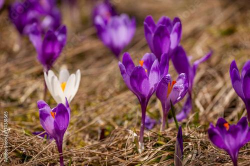Spoed Foto op Canvas Natuur lot of purple crocus flowers in spring