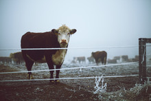 Cow In The Winter Pasture