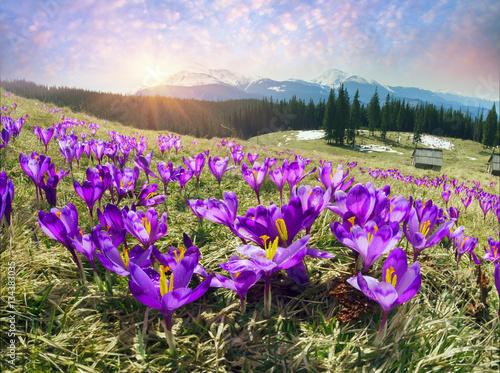 crocuses-spring-chornogory