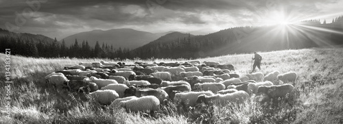 Stampa su Tela Black and white photo of sheep