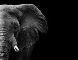 Fototapeta Sypialnia - Elephant in black and white with a dark background