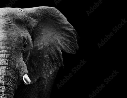 Poster Olifant Elephant in black and white with a dark background
