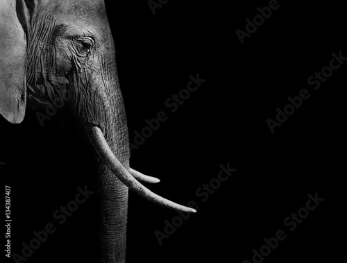 Poster de jardin Elephant Elephant in black and white with a dark background