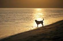 Portrait Of A Golden Labrador Standing At The Edge Of The Sea On A Beach.