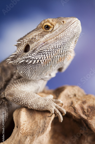 Agama bearded, pet on black background, reptile Wall mural