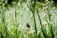 A Butterfly Gathering Nectar From A Field Of Rattlesnake Master.