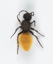 Velvet Ant Female Orange