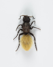 Velvet Ant Female White