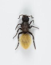 Velvet Ant Female White