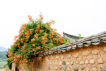 Chinese Trumpet Creeper Is A C...